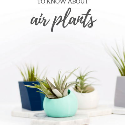 Air Plants 101